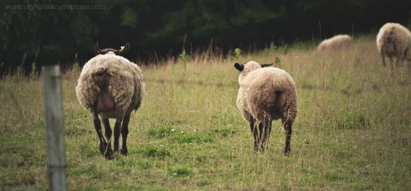mouton3 copie