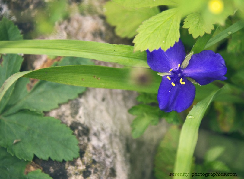 violette copie