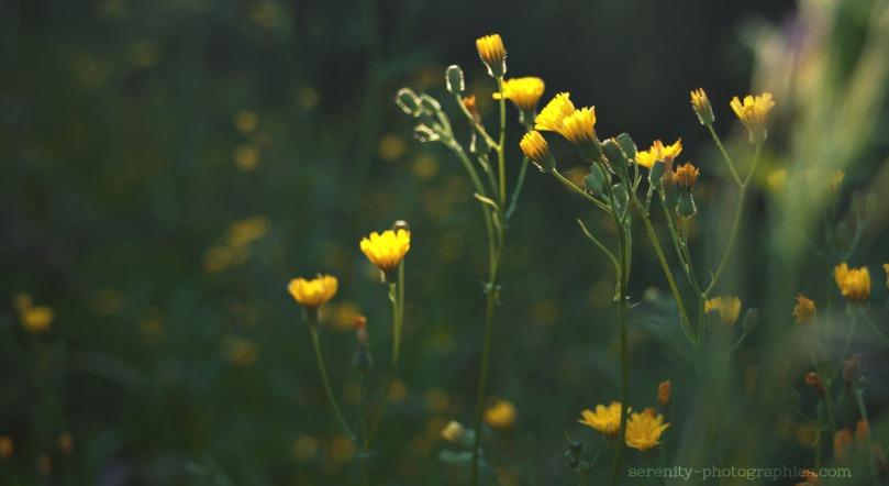 serenity-photographies fleur copie