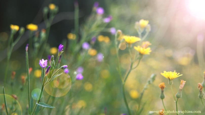 serenity-photographies fleur violette copie