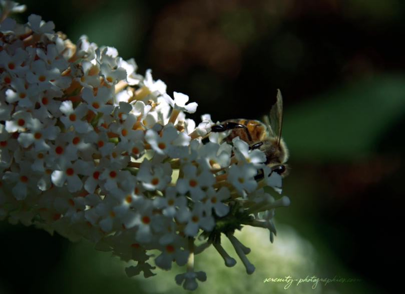 serenity-photographies - abeille copie
